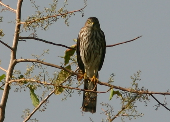 Sharp-shinned Hawk 20081105
