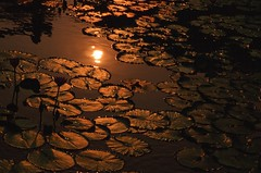 sunset on lotus pond (* andrew) Tags: sunset flower slr film water leaves silhouette zeiss garden hongkong leaf pond nikon lotus kodak 85mm slide carl 100 vs ektachrome e100vs fm2 planar zf chilinnunnery e100 diamondhill  zf85mm planart1485 file:name=2008101302fm211jpg