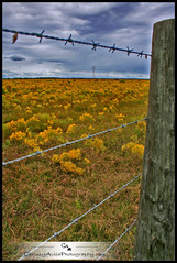 Golden Barbed (Chrissy Avila Photography (cHrIsSy1554)) Tags: yellow fence landscape florida barbedwire ©csquaredphotography chrissy1554 ©christinaavilaphotography hollowgoldenrod ©chrissyavilaphotography wwwchrissyavilaphotographycom