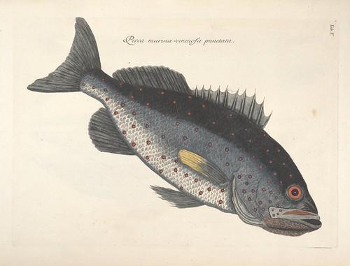 Perca marina venenosa punctata