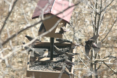 Three Rosy-Finch Species Lower Feeder 20081115