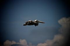 AmericaSud 680 (Joan Vendrell) Tags: wildlife americadelsud
