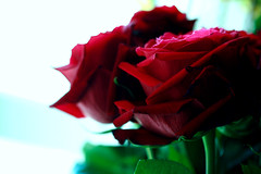 b l e e d i n g ,, l o v e (Weda3eah*) Tags: flowers red flower macro green love by amazing blood all box song lewis 100mm lovely doha qatar leona blure do7a qtr 400d weda3eah bleedig