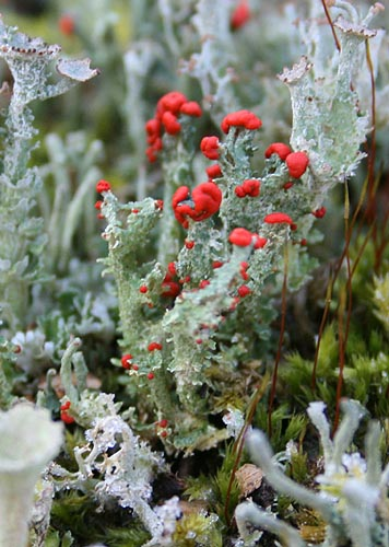 British Soldier lichen, Cladonia cristatella by TheMarvelousInNature.wordpress.com.