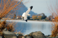 Gull in flight (repetry) Tags: lighting autumn light lake bird nature water outdoors interesting bc flight 123 321 kelowna picturesque ohhh 123nature 2for2 lovephotography sonya700 flickrlovers