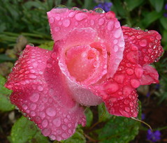 raindrops on roses (Foot Slogger) Tags: pink flowers water rain rose waterdrops oberflaeschen