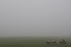 Sheepish ((Erik)) Tags: fog sheep romantic sheepish uithof haasjeover schaapjeover