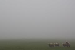Sheepish ((Erik)) Tags: fog sheep romantic sheepish uithof haasjeover schaapjeover
