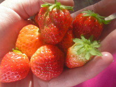 Strawberries - 1st crop