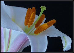 Christmas Lilly (Chook with the looks) Tags: newzealand orange white macro closeup lily stamen pollen marlborough manfrotto lilje onblack d300 naturesfinest flowerscolors nikkor60mmmacro photofaceoffwinner photofaceoffplatinum pfogold pfoplatinum christmaslilly feb09pfobrackets