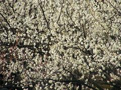 Plum Flowers (emrank) Tags: flower plum fujifilm ume plumflower s8000fd fujifilmfinepixs8000fd