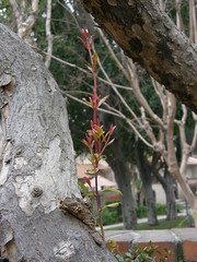 Pomegranate sprouting branch