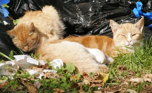 3 Buff/Beige/Orange Feral Tabby Cats