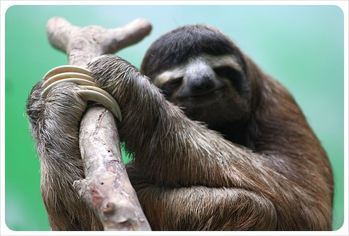 Three fingered sloth in Monteverde Costa Rica