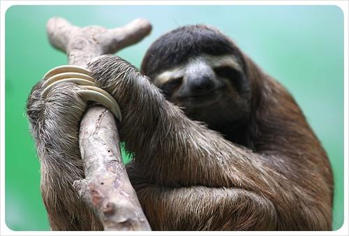 Three fingered sloth in Monteverde Costa Rica