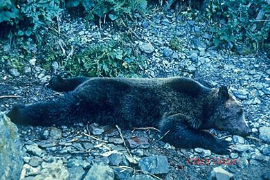 1967 killer bear