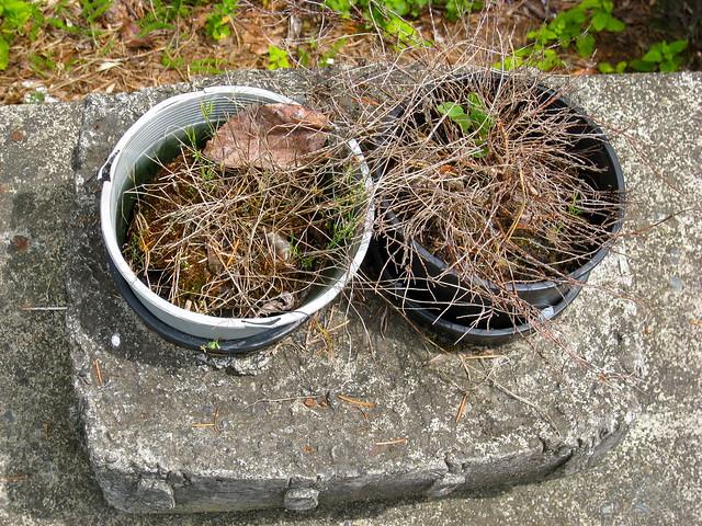 Dead Herb Plants 03