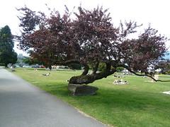 20110626_KitsBeach_Plum_Cutler_P1130882 (wlcutler) Tags: plum ornamental