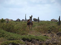 Donkey (Wimpy 77) Tags: bonaire esel
