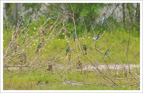 The Bee-eater clan