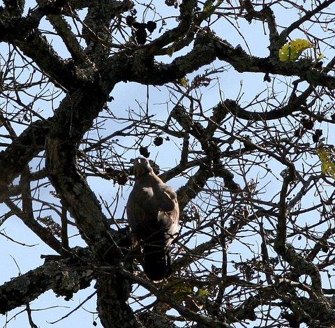 oriental honey buzzard k gudi 170308