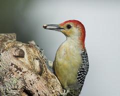 Red-bellied Woodpecker (Momba (Trish)) Tags: red bird nature birds woodpecker nikon tennessee d200 nikkor redbellied momba nikond200