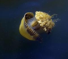 Jellyfish (dalinean) Tags: life ferry photoshop jellyfish sigma australia ps jelly aquatic sd10 westaustralia