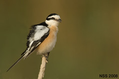(N-S-S) Tags: bird birds nikon sigma kuwait nikkor  nasser 800mm  nss    vwc    golddragon     kvwc    alsolihem