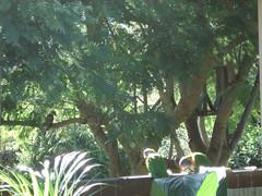 avec le kookaburra (Jannygirl) Tags: sunlight australia kookaburra lorikeets