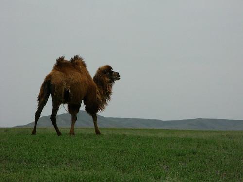 A camel near Kuitun, Xinjiang Province, China