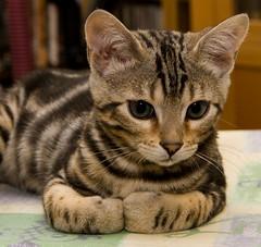 Reuben gets ready to rumble (BigFatMonkey) Tags: silver kitten gloves reuben marble boxing bengal