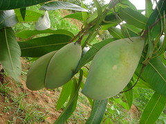 More Mangoes