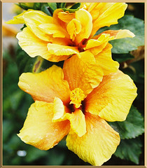 TANTE CAROLINES YELLOW HIBISCUS (fantartsy JJ *2013 year of LOVE!*) Tags: ocean california flowers friends sea vacation cute beach home beauty birds fauna sand flora squirrels waiting sweet cottage wallart oceanside urbannature dreams hopes sensational inspire breathtaking pf goldenheart awardwinner placesilove totalphoto fantasticflower fineartphotos mywinners mywinner anawesomeshot fabulousflowers diamondclassphotographer flickrdiamond macroaward brilliant~eye~jewel picturefantastic themacrogroup theperfectphotographer macroflowersgroup mymagicyellowdress life~asiseeit thebestflowershots flickgreen envyenviedphotos magicdonkeysbest goldenheartaward freeflickrflowrs amazingmacros