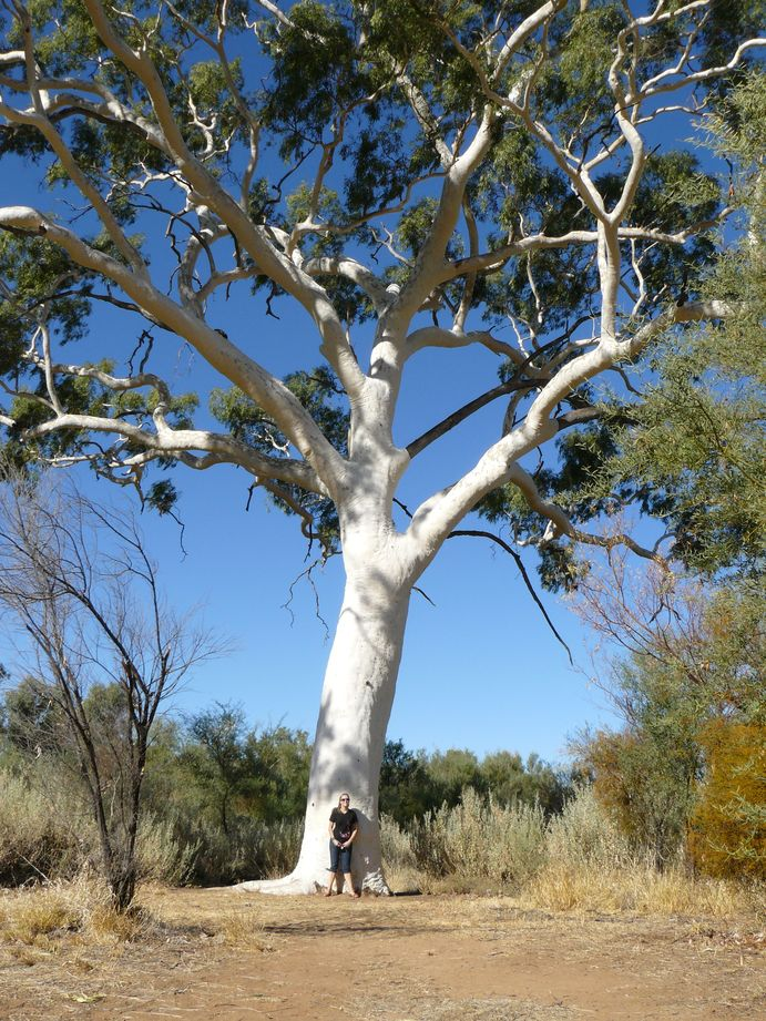 Australie #23 : Eucalyptus
