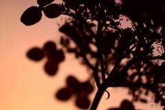 once more (*setsuna) Tags: pink sunset orange flower nature silhouette japan canon sigma hydrangea aplusphoto flickrelite 5mikejune