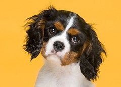 Chester (2) (Piotr Organa) Tags: portrait dog pet toronto canada cute face animal puppy nikon spaniel cavalier supershot platinumphoto colorphotoaward aplusphoto pet500 pet1000 goldstaraward flickrlovers nikonflickraward 100commentgroup