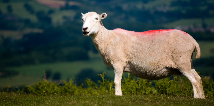 garway sheep_7822