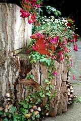 Pilze (siggi2234) Tags: garden pilze garten rinde baumstamm lebensraum meingarten shwotan siggi2234