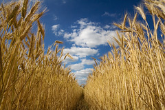 Summer Skies (BarneyF) Tags: blue summer sky cloud france field landscape vanishingpoint bravo wheat lacitadelle mywinners aplusphoto