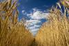 Summer Skies (BarneyF) Tags: blue summer sky cloud france field landscape vanishingpoint bravo wheat lacitadelle mywinners aplusphoto