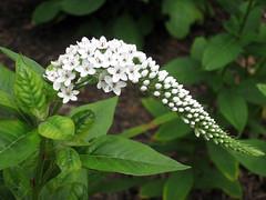 gooseneck loosestrife flower
