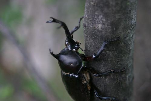 カブトムシ(beetle)