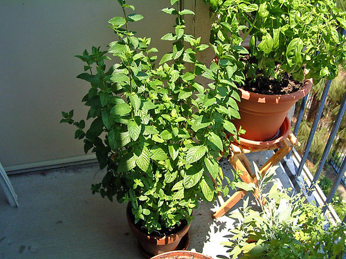 Garden- Thriving Mint
