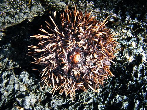 KÅ«ki'o Tidepool Life; Sea Urchin