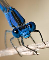 How close he allowed me to get--crop (debunix) Tags: blue macro dragonfly cmwdblue cotcbestof2008