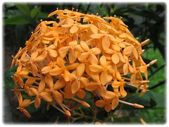 Ixora javanica 'Yellow' (Jungle Flame/Geranium, Flame of the Woods, Needle Flower) at our neighborhood