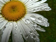 Margarita (hiskinho) Tags: flower macro water rain petals lluvia agua waterdrop flor margarita petalos ysplix colourartaward