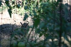 IMG_3462 (Blackavar Lion) Tags: rabbit bunny conejo coelho  lapin watershipdown kaninchen    canonrebelxti  2be2176f59cfac7c3f99b44a73b29c9b