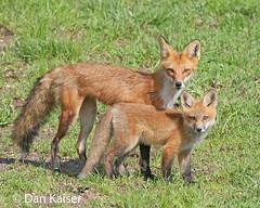 Red Fox with Kit (dhkaiser) Tags: county red dan fox kit kaiser ias bartholomew naturethroughthelens vosplusbellesphotos