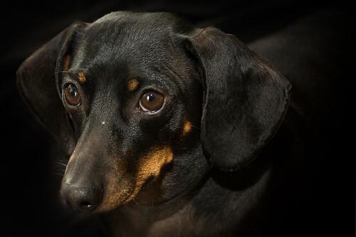 Vienna Sausage aka Weiner Dog
